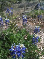 Willow City TX hill country bluebonnet