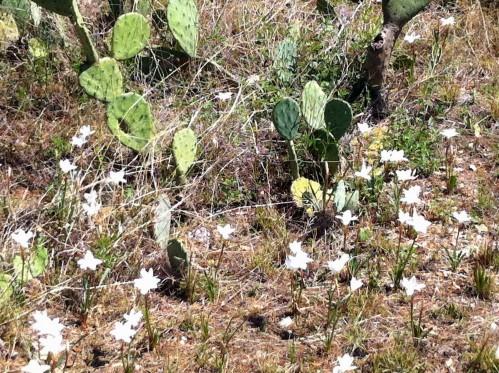Texas Rain Lily