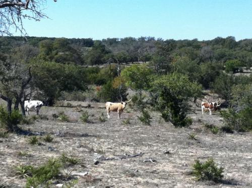 Long horned cattle south of Dripping Springs, TX